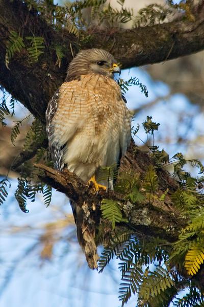 Hawk - Red-shouldered - Corkscrew Swamp, FL - 01