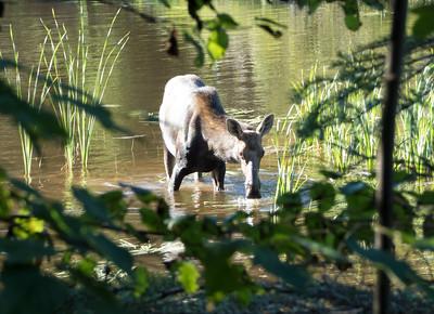 Isle Royale moose 2016