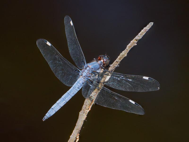 Spangled Skimmer (Libellula cyanea), male