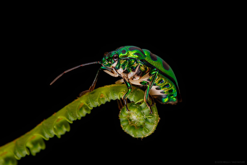 Green jewel bug ( Chrysocolis stolli )