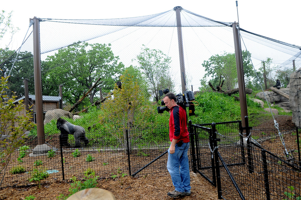 . Gorilla Forest, the largest all-mesh gorilla enclosure in North America, measures 13,000 square feet, almost three times larger than the previous space. (Pioneer Press: Jean Pieri)