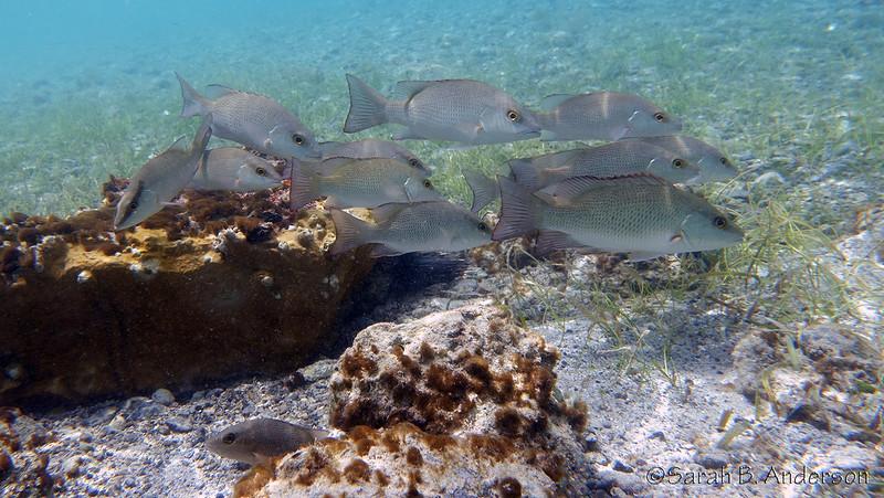 Gray Snapper?  Waterlemon Bay