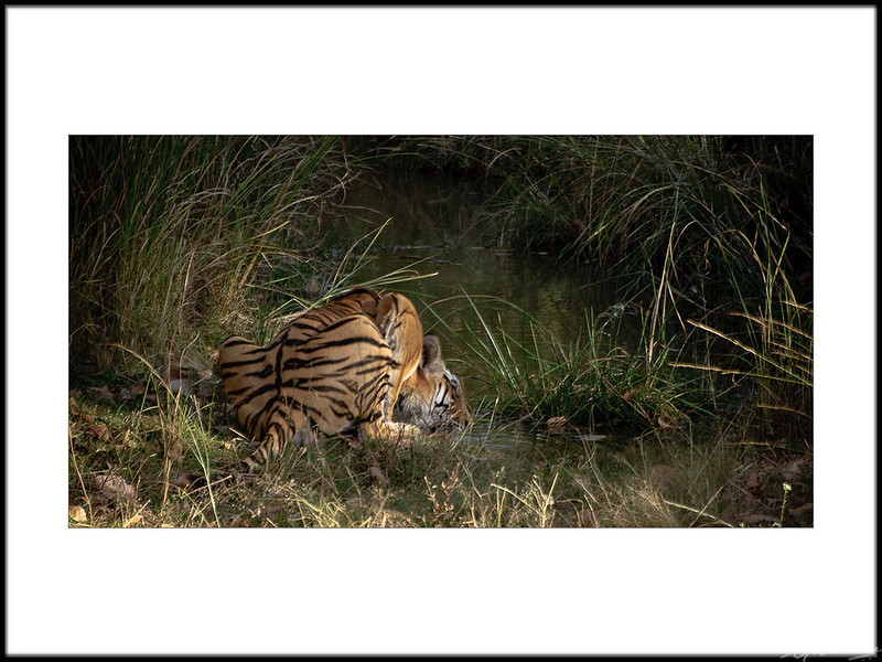 16: Bandhavgarh tiger sighting