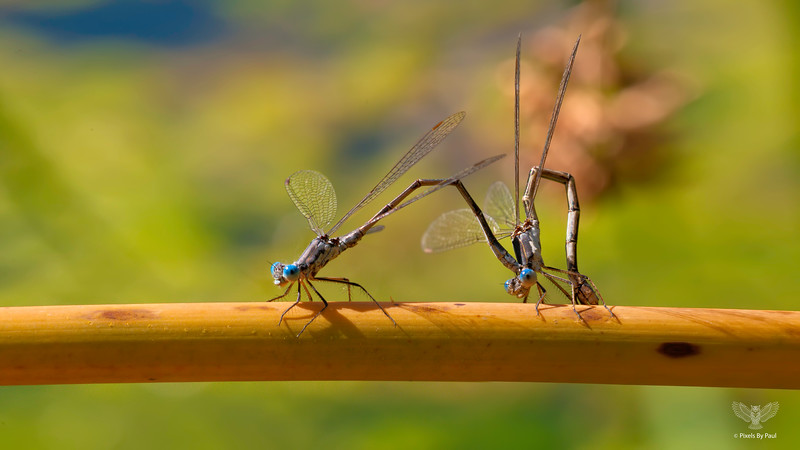 Damselfly Foreplay