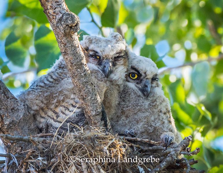 _DSC7383Baby Owls.jpg