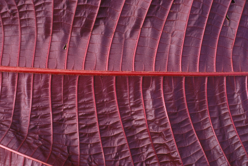 This close-up of a leaf underside gives greater detail of the leaf vein pattern as well as the intense purple color.  (photoID: bhg000304)