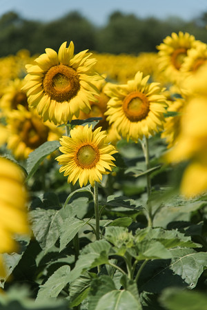 Summer 2020: Sunflowers and Skaneateles Day Trip