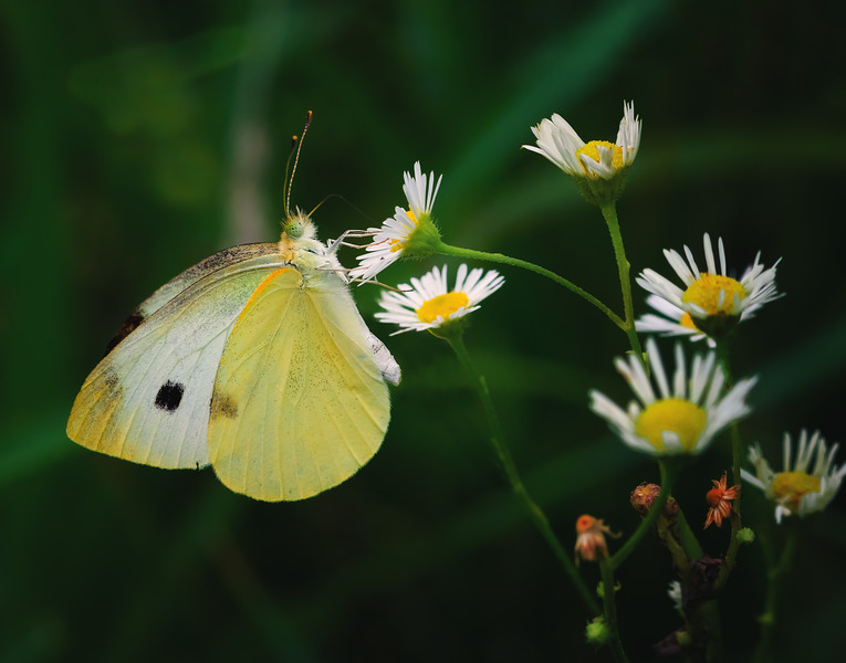 Cabbage White Ambience