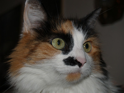Crazy Calico Cat