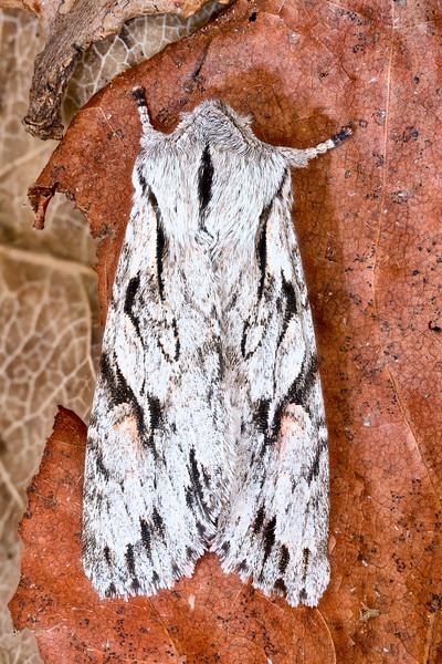 Crucial Woodling Moth