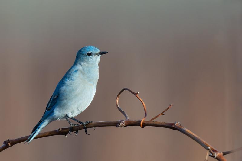 Mountain Bluebird - Livermore, CA, USA