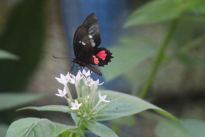 Ruby-spotted Swallowtail - Papilio anchisiades