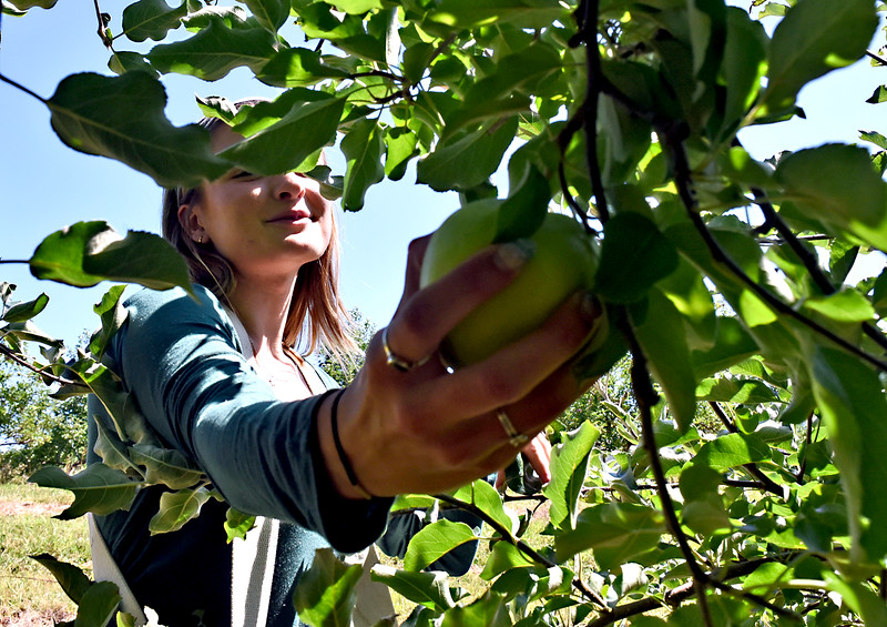 Paige Bailey 20 of Groton, picks Ginger Gold apples at Autumn Hills Orchard in Groton where she works. SUN/David H. Brow