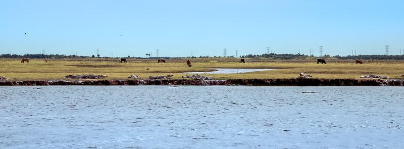 Cows & Alligators cohabitate near St John's River, Christmas, FL