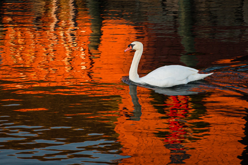 Reflected Motif #1 and Swan