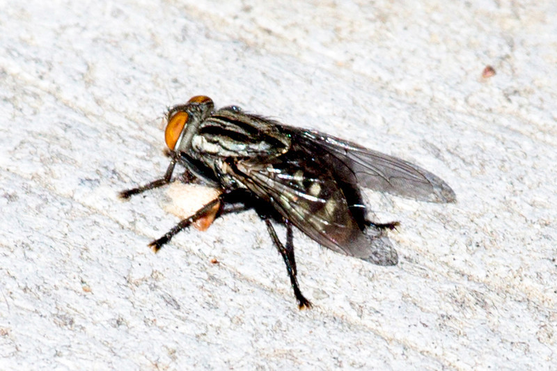 Not the least of the denizens of the garden -- the common house fly.