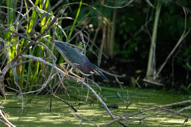 green heron that just caught a fish in a wetland pond
