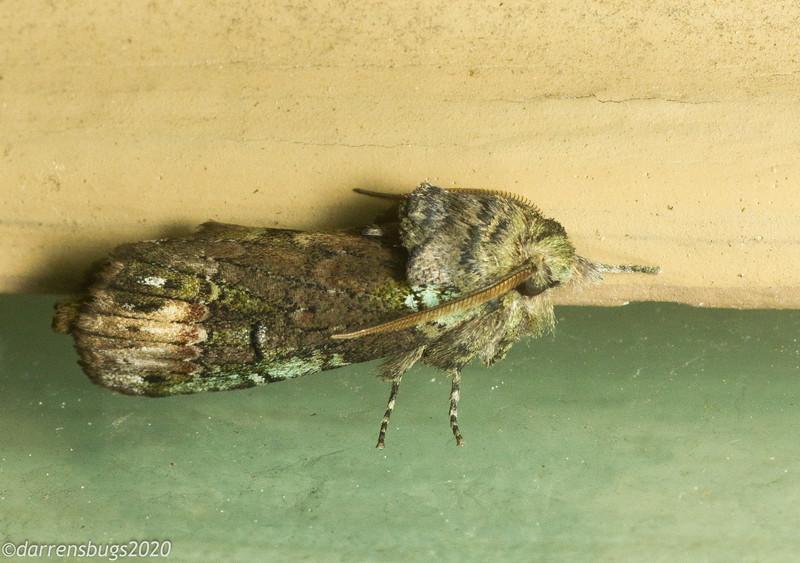 Unicorn Caterpillar Moth, Schizura unicornis (Notodontidae).