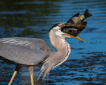 A great blue heron talks about food