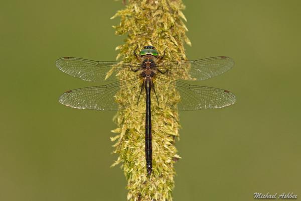 Dusk Dragonfly (Antipodochlora braueri)
