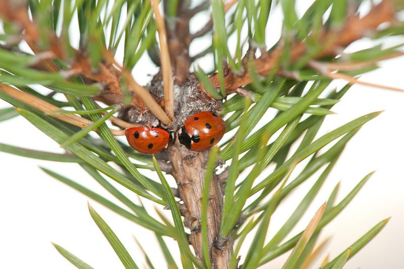 20090921as17-54-07 coccinella septempunctata, syvprikket marihøne