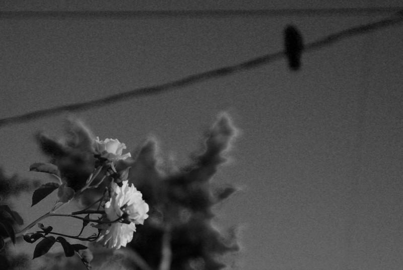 100607 crow flower.jpg