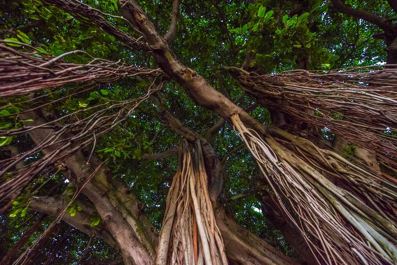 Banyan Tree 24