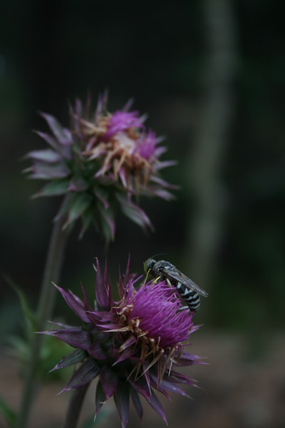 Thistle & Wasp