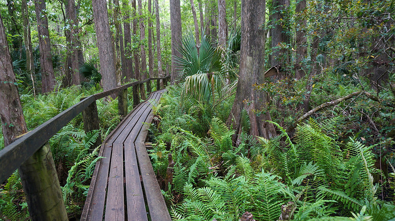 Boardwalk through ferns