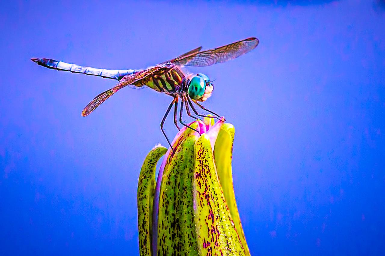 可爱的蜻蜓