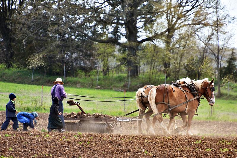 Amish family  removing rocks from  field .Back roads Dalton-Roper.jpg