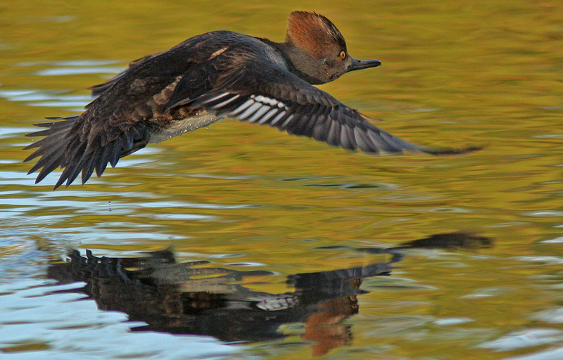 Female Hooded Merganser taking off