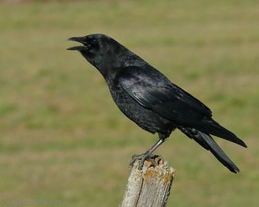 SONGBIRDS 1 (Crows, thrushes, swallows etc.- LES OISEAUX CHANTEURS 1 (Corneilles à tyrans)