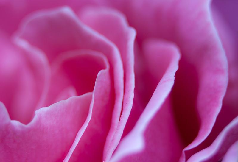 Macro rose.jpg