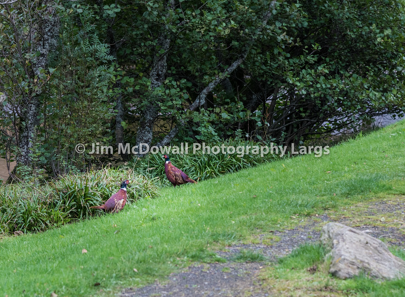 Two Scottish Grouse at side of road