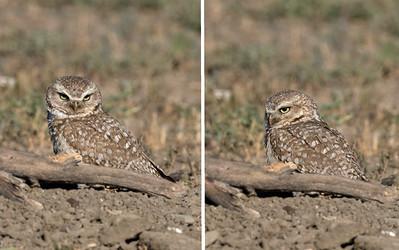 2021 Burrowing Owls