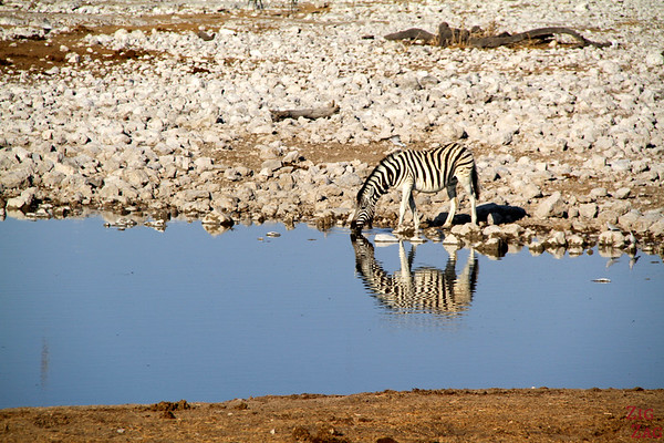reflection of zebra 2