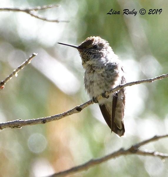 Anna's Hummingbird  - 9/8/2019 - Agua Dulce, Mount Laguna