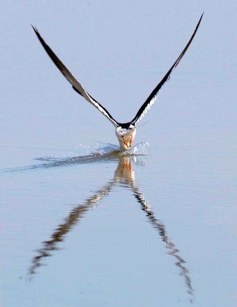 Reflecting skimmer makes a strike for prey in the water...
