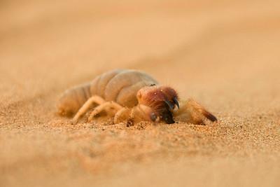 Camel Spider sp. 1