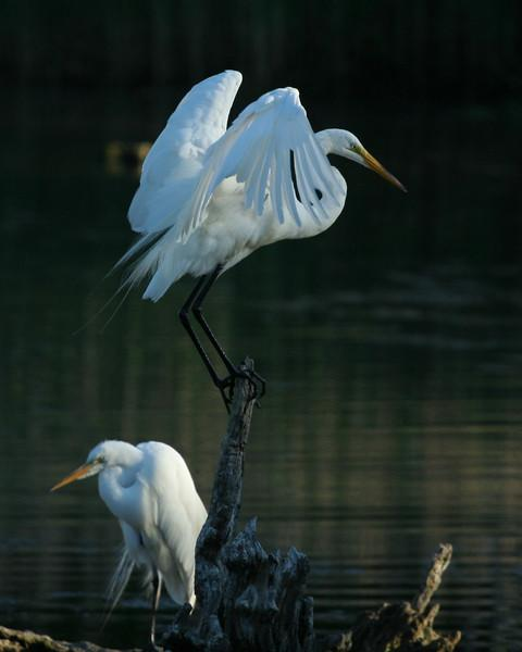 Two Egrets and a Heron