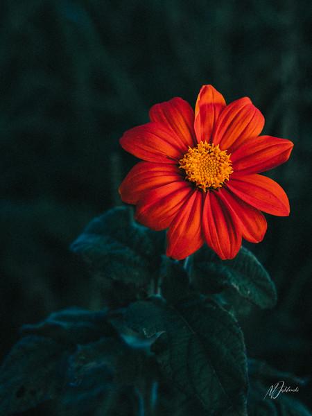 Mexican Sunflower 12x16.jpg