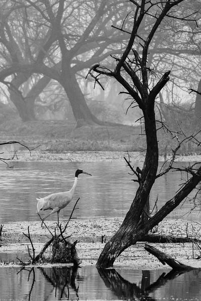 Sarus-Crane-and-trees-bharatpur1.jpg