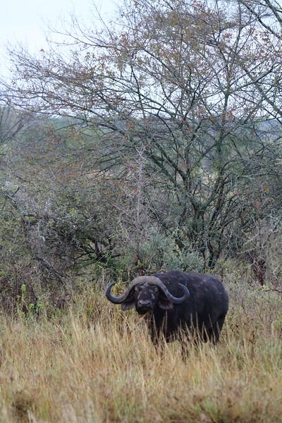 Cape Buffalo 2.JPG