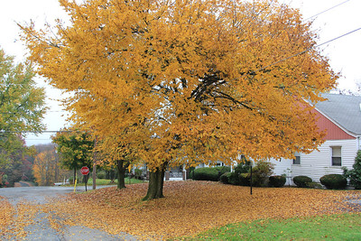 Fall Scene, Tree, Leaves, Hometown (10-25-2012)