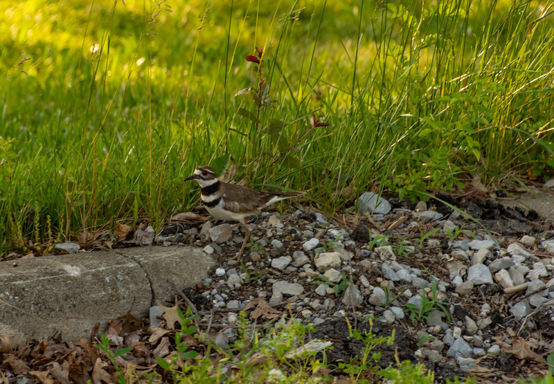 Killdeer-nearitsnest-pickleroad.jpg