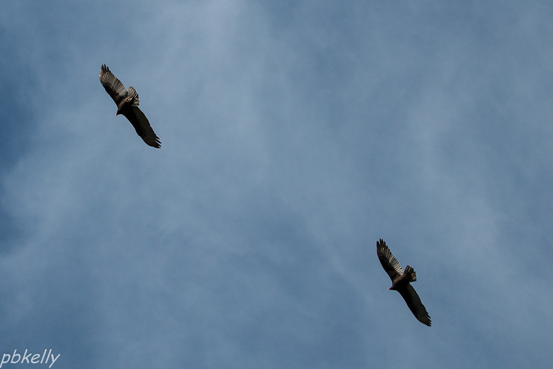 10-10.  A number of Turkey Vulture flying straight overhead.  These two were perfectly aligned.