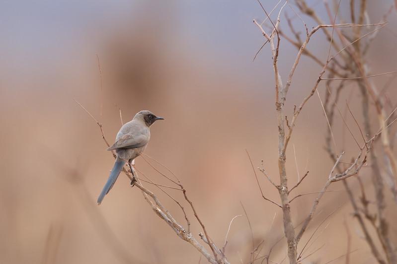 Ashy Starling - Tarangire National Park, Tanzania