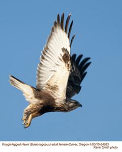 Rough-legged Hawk F64035.jpg