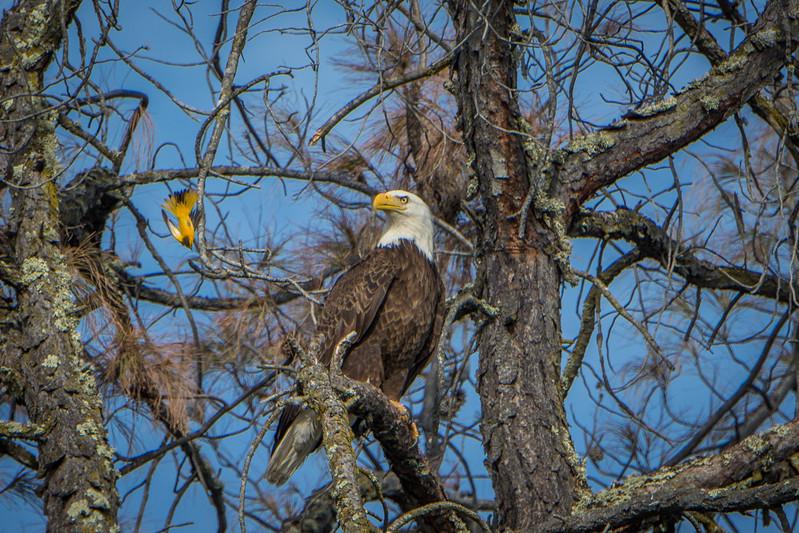 Bald Eagle and Bullock's Oriole